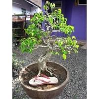 Bonsai Beringin Batu 25645551