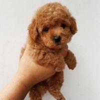 48++ Harga anjing poodle kecil terupdate
