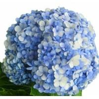 Daftar harga Bunga Hortensia Putih Bulan Januari 2019 2e00c94f68
